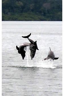 Des dauphins qui sautent hors de l'eau à Dolphin Bay, Bocas del Toro, Panama