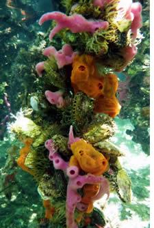 De koraalriffen in Bocas del Toro, Panama zijn kleurrijk en divers